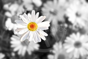 Single lonely daisy, loss