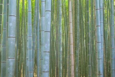 Bamboo Forest in Kyoto Arashiyama area