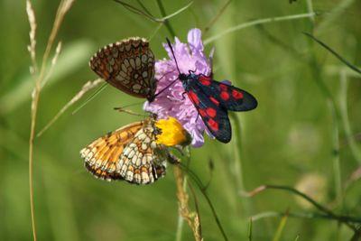 Tre fjärilar