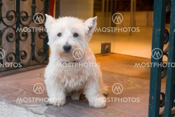 vit liten hund