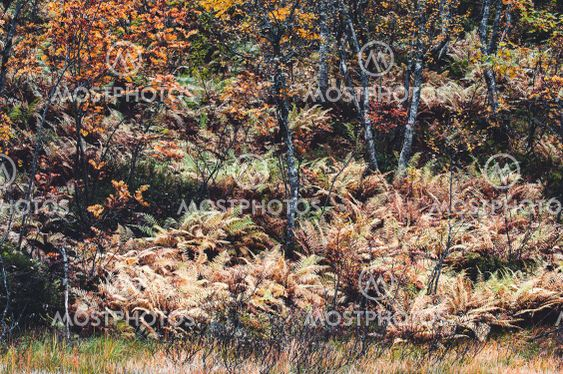 Autumn colored ferns in forest