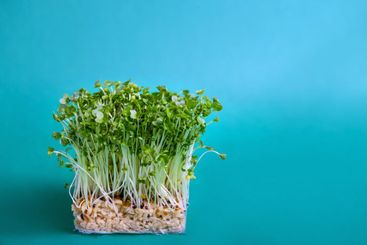 Young Fresh Green Sprouts of Water Cress on blue...