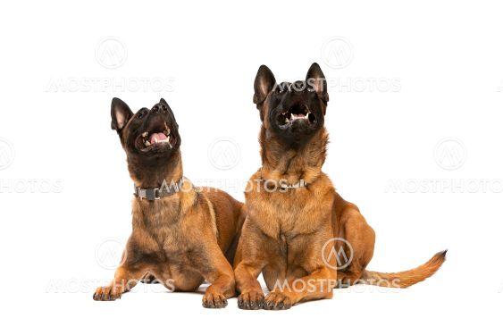 Two Belgian Malinois dogs