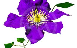 Purple clematis flowers isolated a white background