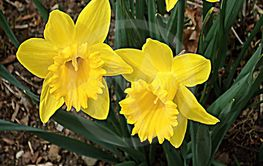 Spring beautiful bright yellow flowers Narcissuses on a...