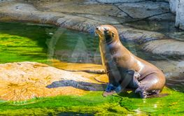 beautiful closeup portrait of a sea lion sitting at the...