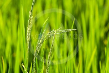Close up of rice grains in paddy field