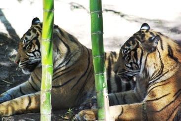 Tiger Double Vision