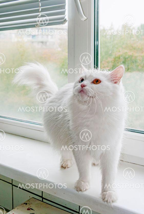 6044a2ae6d495a Vit katt med flerfärgade ög...
