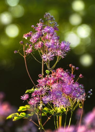 Greater- or Columbine Meadow Rue in spring