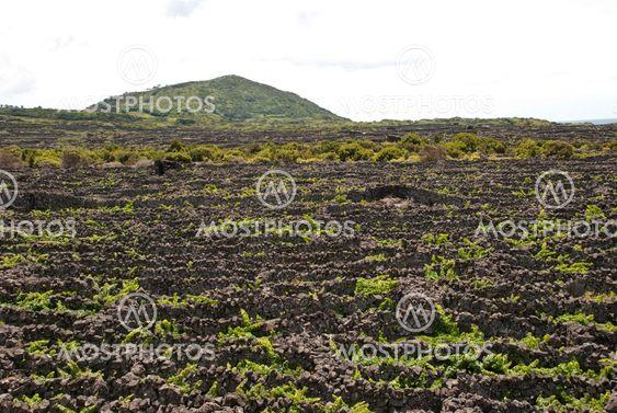 Vinayards på Pico, Azorerne