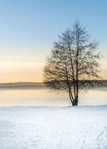 Ett träd i vintersolnedgång över Mälaren.