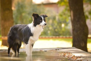 Dog border collie is standing in water.