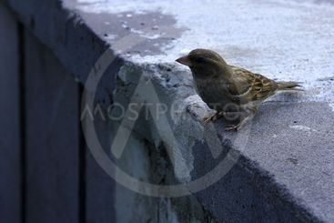The sparrow sits on a concrete plate