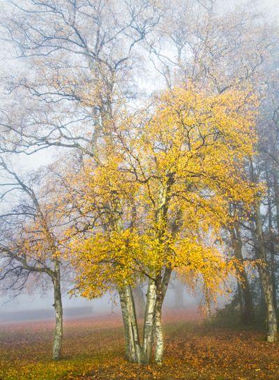 Birch trees in the mist in autumn