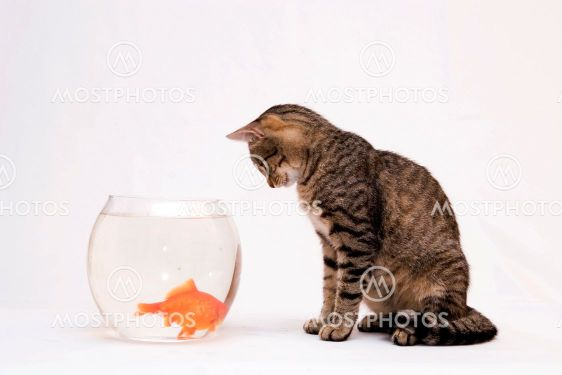 goldfish bowl and cat. Home cat and a gold fish.,