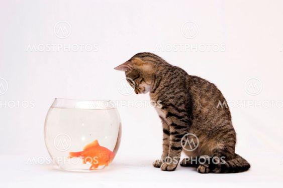 Hem katt och en guld fisk.