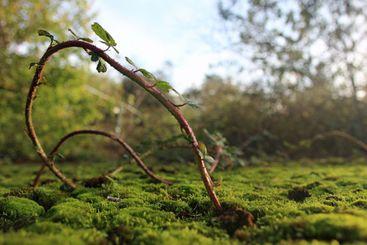 Tendril grows through mossy soil