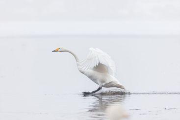 Swan landing on misty lake