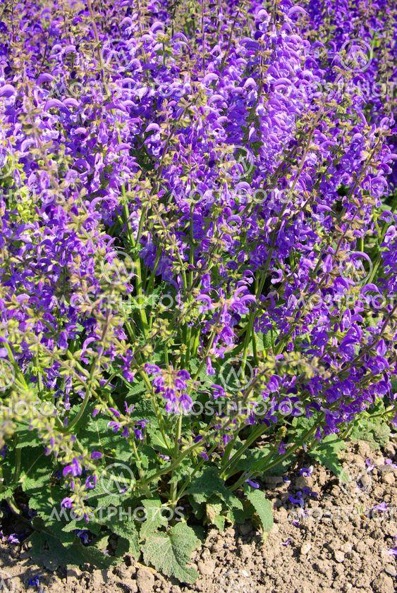 Wiesensalbei - Meadow Sage 02