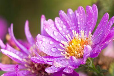 New York aster or Michaelmas daisy