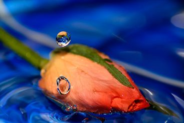 Drop over the rose
