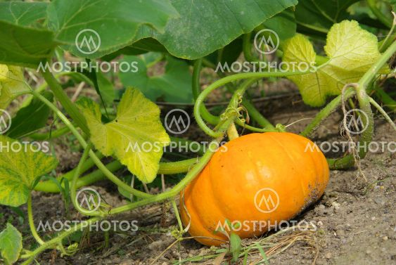 Kurbis Pflanze Pumkin Pla By Lianem Mostphotos