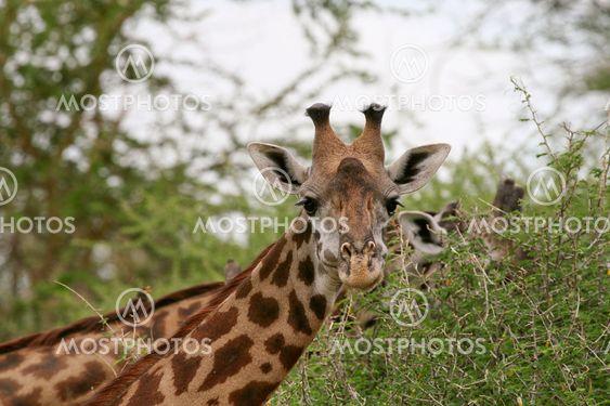 Kirahvi (Giraffa kirahvi)