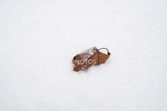 isolated maple leaf fallen in the snow in a public garden