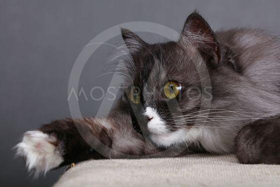 Close up portrait of gray domestic cat