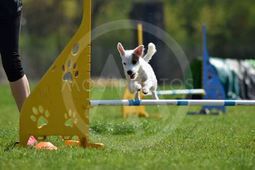 Dog, jack russel in agility.