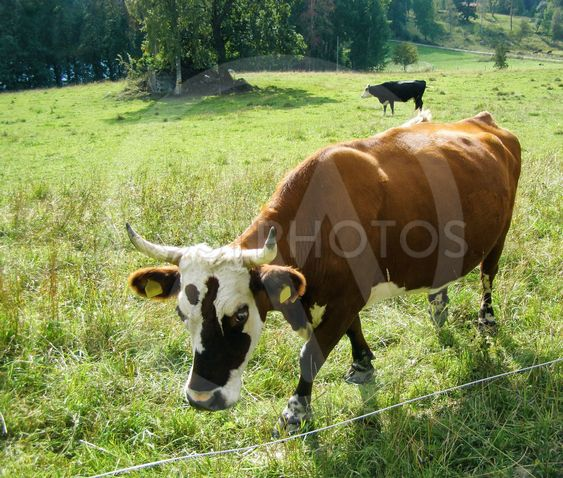 Brown cow with white muzzle