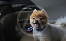 pomeranian dog cute pet in vehicle car travel road trip