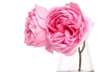 Pink roses on a white background
