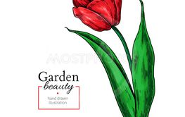 Tulip red flower and leaves drawing. Vector hand drawn...