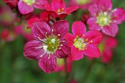 Red Mossy Saxifrage (Saxifraga arendsii)