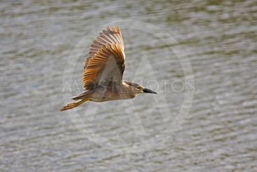 Black-crowned Night Heron (Nycticorax nycticorax) flying