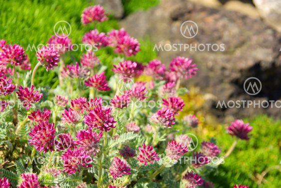 Wundklee - Anthyllis montana 06