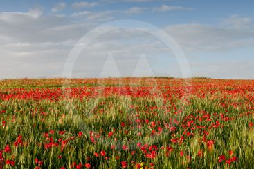 Field of red poppy anemones late in spring