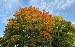 Deciduous tree in autumn colors