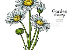 Daisy flower drawing. Vector hand drawn floral bouquet....
