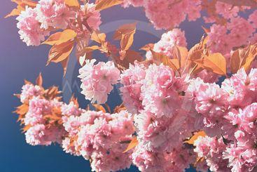 Beautiful blossom tree. Nature scene with sun on Sunny...