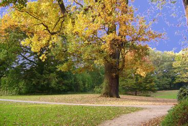 Tree with yellow leaves in sun beams, a footpath