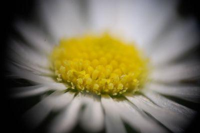 Head daisy