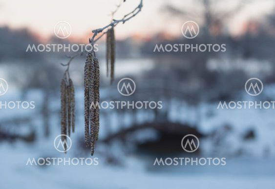Catkins and old wooden bridge in winter.