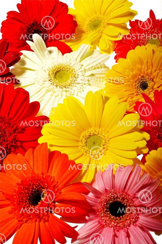 Colorful Gerberas