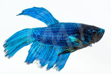 Blue betta fish. Fighter fish