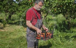 Farmer holding crate with apricot fruit in orchard