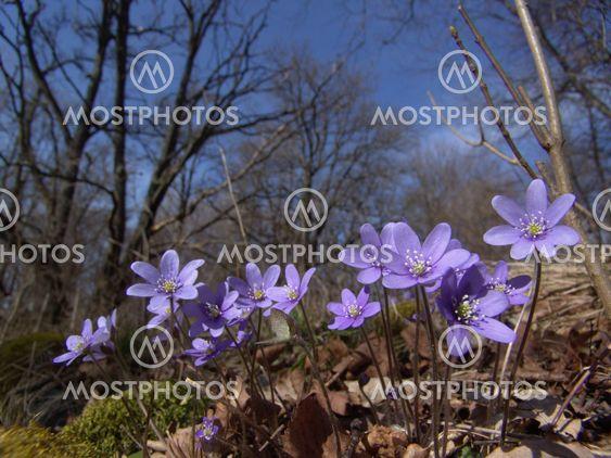 Hepatica flower / blåsippa