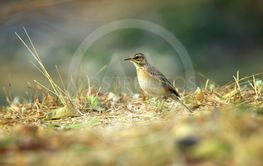 Paddyfield Pipit say stop